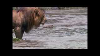Download Lion vs Crocodile Video