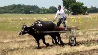 Download CARABAO RACE,MULAWIN BATA BALIWAG BULACAN Video