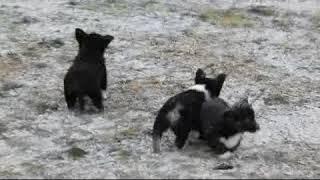 Download Siborgi Puppies For Sale Reuben Miller Video