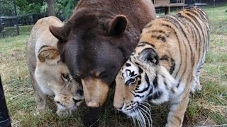 Download Lion, Tiger and Bear Are Inseparable After Being Found Abused in Basement Video