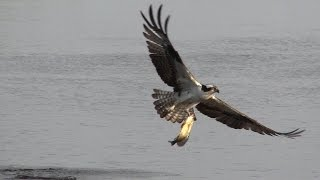 Download Ospreys Bald Eagle come in for the kill Video
