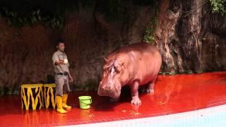 Download Ancol Gelanggang Samudera - Aneka Satwa - Hippo Show - kuda nil (full show) Video