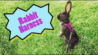 Download Can rabbits wear a harness? Video