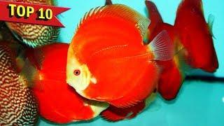 Download Top 10 Expensive Discus Fish Varieties Video