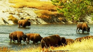Download Why the U.S. Army Guarded the 23 Remaining American Buffalo (4K) Video