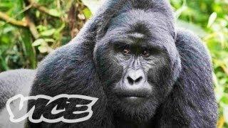 Download The Last Silverback Mountain Gorillas Video