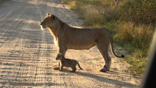 Download Lion Mother with Lion Cub Video