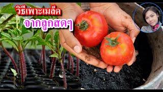 Download การเพาะเมล็ดมะเขือเทศ จากลูกสดที่ซื้อจากตลาด ในกระถาง ปลูกผักสวนครัว Video