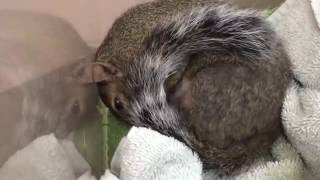 Download Pregnant Squirrel With Head And Facial Trauma Video