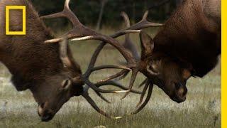 Download The Yearly Elk Brawl | Untamed Americas Video