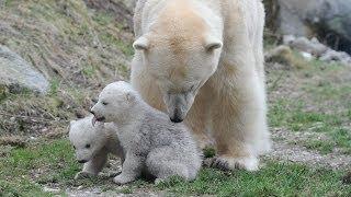 Download Eisbärenzwillinge erkunden das Freigelände @ Tierpark Hellabrunn (polarbears munich) Video
