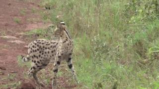 Download Attack by wild cat in Nairobi national parc Video