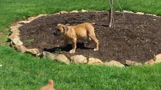 Download African Boarbol Puppies For Sale Aaron Fisher Video