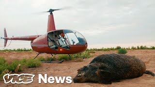 Download Feral Hogs Are Tearing Up Texas, So Tourists Are Shooting Them from Helicopters Video
