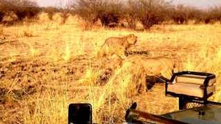 Download Two prides clash & dominant male of one pride exerts his authority-others submit. Lion Camp,Zambia Video