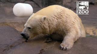 Download Polar Bear Research with Anana - Cincinnati Zoo Video