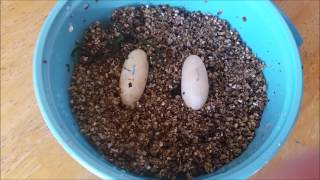 Download I Have Gecko Eggs!! Video