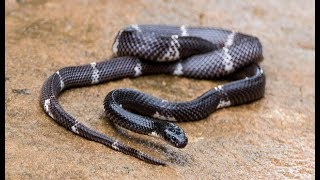 Download भारत के 5 जहरीले सांप काटने पर पानी भी नहीं मांग सकते | Top 5 Most Venomous Snakes in India. Video