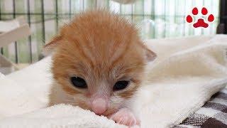 Download 生後1日で放置され、保護したかわいい子猫まや、初めてだらけで戸惑いの一日 【瀬戸のまや日記】 Kitten maya Lot, first experience Video