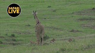 Download safariLIVE - Sunset Safari - January 15, 2019 Video