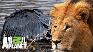 Download Los depredadores de África en acción | Ríos de África | Animal Planet Video