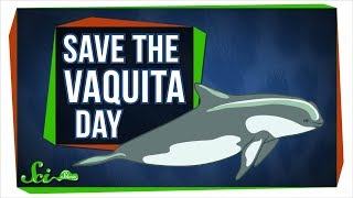 Download We Probably Can't Save the Vaquita—But We Can Learn From Them Video