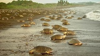 Download Olive Ridley Turtle Arribada, Costa Rica Video