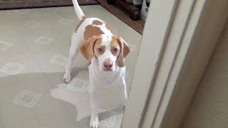 Download Cute Dog Plays Hide & Seek: Cute dog Maymo Video