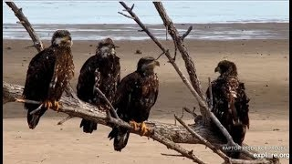 Download Mississippi Flyway Cam ~ A CONVOCATION Of EAGLES! Amazing Closeups Eagles Of Many Ages! 12.5.19 Video