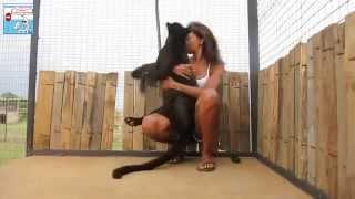Download La bellissima reazione di una pantera nera alla vista della volontaria Video