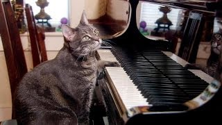 Download Nora the piano playing cat - Extraordinary Animals - Series 2 - Earth Video