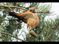 Download Parrot Crossbills. Swinley Forest, Berkshire. 28/11/17 Video