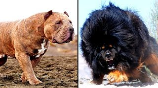 Download 14 MORE of the Worlds Most Dangerous Dog Breeds Video