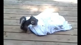 Download Mama squirrel coming and saving baby Video