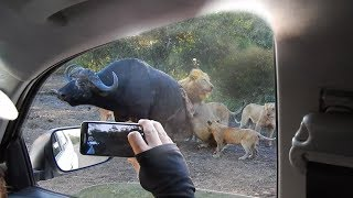 Download Lions Hunt Buffalo Next to Vehicle Video