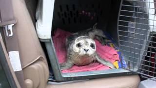 Download Alaska Seal Pup Rescue Video