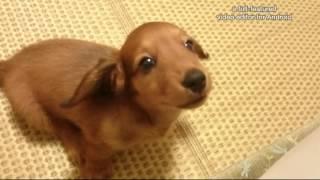 Download ミニチュアダックス子犬の甘え声 Video