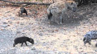 Download Spotted Hyena with Cubs Video