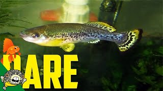 Download Selectaquatics Fish Unboxing. Ilyodon furcidens, Characodon lateralis, Skiffia multipunctata Video