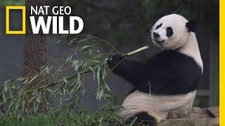 Download Giant Pandas 101 | Nat Geo Wild Video