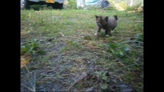 Download なぜか私を追いかけてくる野良のチビ子猫ちゃん^^Stray kitten chasing Me【いなか猫1470】japanese funny cat Video