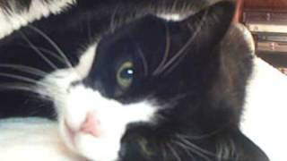 Download Kissy The Tuxedo Cat In Her Reveries Video