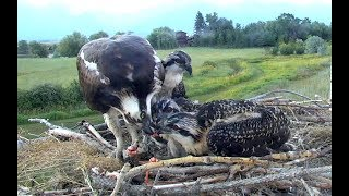 Download Sucker breakfast for Charlo Ospreys. 05.50 / 20 July 2018 Video