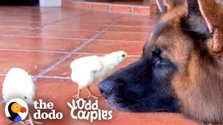 Download Watch These German Shepherds Raise Baby Chickens | The Dodo Odd Couples Video