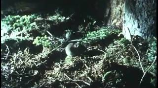 Download The Living Planet 03 The Northern Forests David Attenborough Video