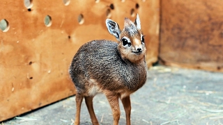 Download Adorable Baby Dik-Dik Antelope Is Only 19cm Tall: ZooBorns Video