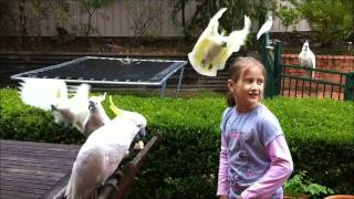 Download Cockatoo feeding time Video