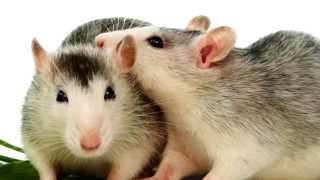 Download Breeding Your Rats - A Guide Video