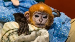 Download Endangered Langur Baby Gets a Helping Hand Video