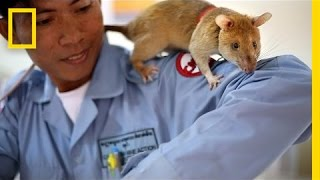 Download These Huge Rats Can Sniff Out Land Mines | National Geographic Video